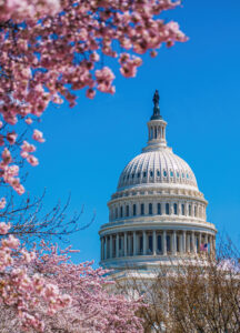 Capitol Building with blooming cherry trees foreground in Spring